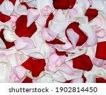 Close up rose petals red pink...