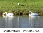 Two White Swans Swim Near The...