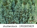 Closeup Bushes On The...