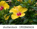 Yellow And Pink Hibiscus Flower ...