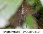 Leucage Venusta Spider Know As...