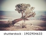 Old Weathered Pine Tree On The...