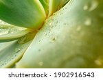 Close Up Of Succulent Leaves...