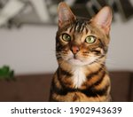 Portrait Of A Bengal  Cat  Cat...