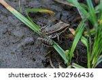 Plains Leopard Frog  An...