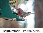 A Male House Finch  Haemorhous...