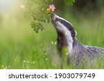 European Badger Is  Sniffing...