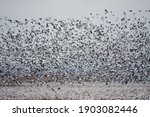 A Swarm Of Geese Rise Off The...