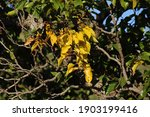 Bright Yellow Leaves On A...