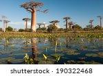 Baobab Trees In Madagascar
