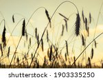 Spikelets Of Ripe Wheat Against ...