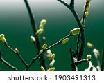 Young spring green buds on the...