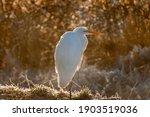 Great Egret  Or Common Egret ...