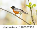 American robin  one of the...