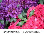 rhododendron flowers.... | Shutterstock . vector #1904048833