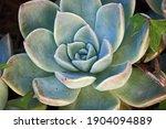 Echeveria Succulent Plant In A...