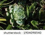 Echeveria Succulent In Sunlight ...