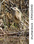 Small photo of American Bittern standing in a swamp.