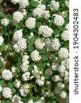 Small photo of Van Houttes spiraea flowers - Latin name - Spiraea x vanhouttei