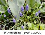 Muscari. Asparagaceae....