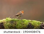 The European Robin  Known...