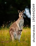 Kangaroo With Her Joey In Pouch