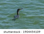 Cormorant In The Sea Swim And...