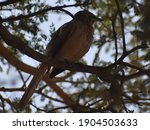 Small photo of jungle babbler on the tree. jungle babbler lives in the group.