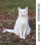 Beautiful White Cat Portrait...