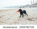 Black Spaniel Puppy Holds Its...