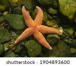 Common starfish  asterias...