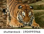 Malayan Tiger  Panthera Tigris  ...