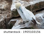 A Northern Gannet On A Rock...
