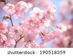 japanese cherry blossoms | Shutterstock . vector #190518359