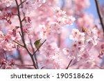 white eye bird on cherry tree | Shutterstock . vector #190518626