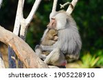 View Of A Mother Baboon Holding ...