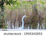 Snowy Egret In Everglades...