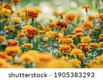 Close Up Of Marigold Flowers ...