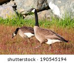Group Of Canadian Geese Eating...