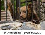 Sad Bear Cub In Animal Cage....
