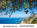 Organic Ripe Olives Growing On...