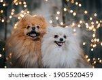 Pomeranian Dog Posing In...