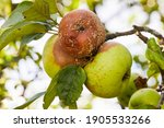 Rotten Apple. Fruits Infected...
