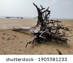 A Big Uprooted Tree Washed Up...