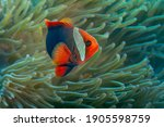 Anemone Fish With Its Anemone ...