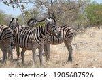 A Few Zebras Standing Under A...