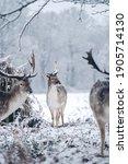 Red Deer Stag Resting In Fern...
