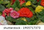 Tuberous Begonias  Begonia....