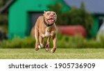 American Pit Bull Terrier...