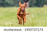 Pharaoh Hound Dog Running In...